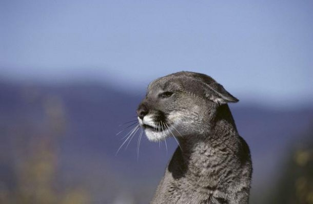 cougar puma jaguar femme